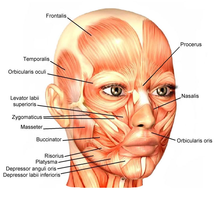 facial anatomy and the facial muscles