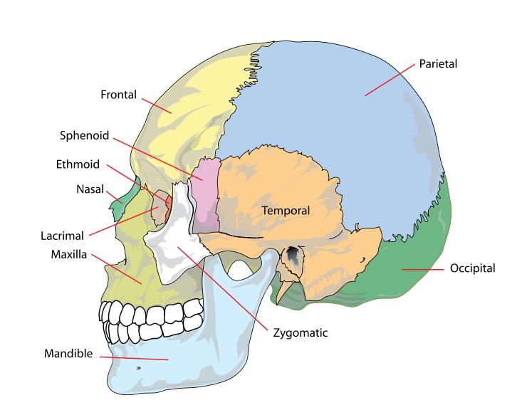 facial anatomy and the skull